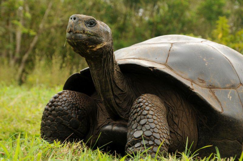 Galapagos islands - Giant Turtle