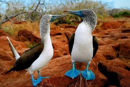 Ecuador and Galapagos Blue footed boobies