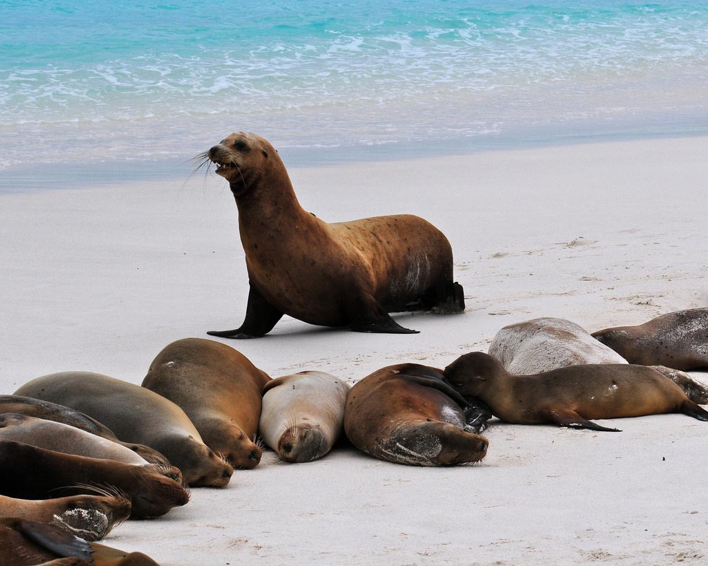 Galapagos Sea Lions at one of the Islands beach
