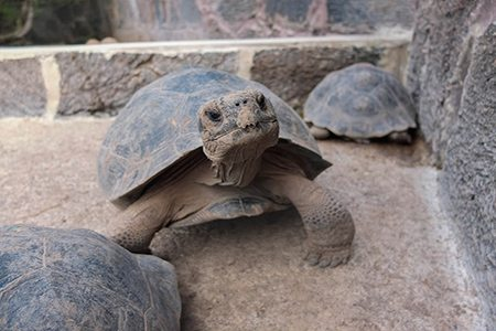 The Galapagos Giant Tortoise Facts Best Places To See