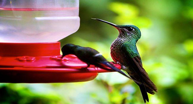 cloudforest hummingbirds