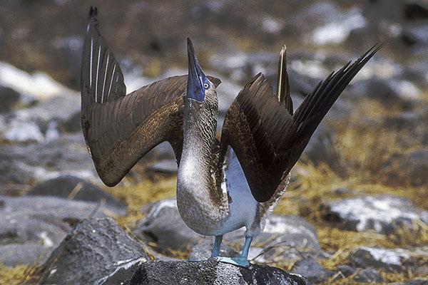 Galapagos islands bird boobies