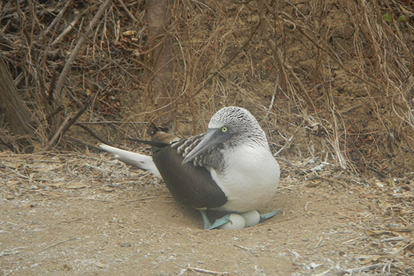 Galapagos blue footed booby hatching