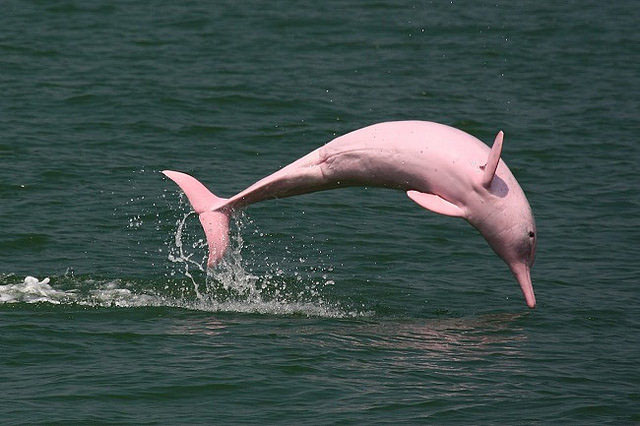 Image result for amazon river dolphin ecuador