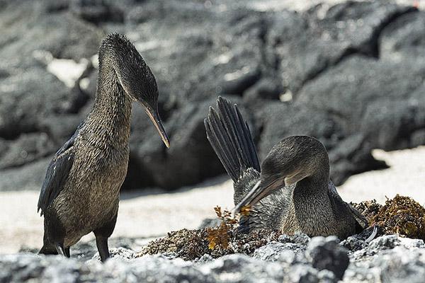 Flightless Cormorant Behavior