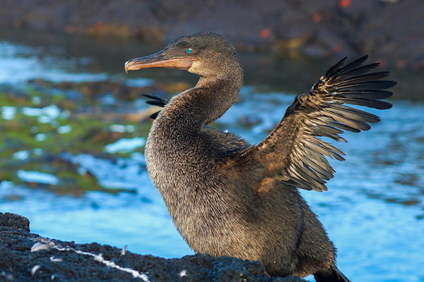Where to see Flightless Cormorant Galapagos