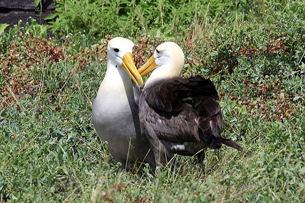 Where to see Albatross