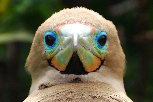 Galapagos Red Footed Booby