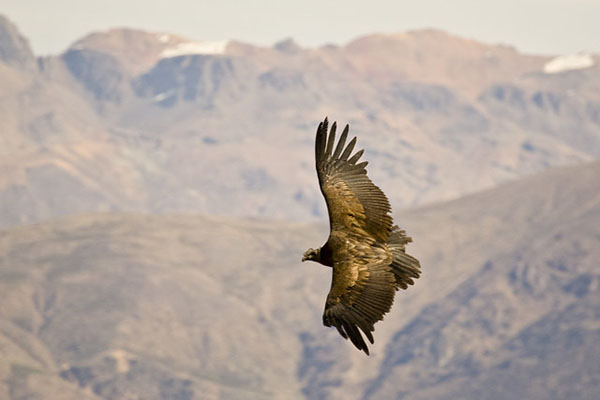 Where to see the Andean Condor