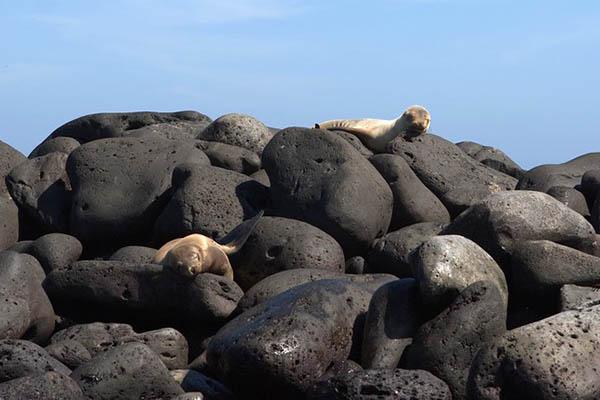 Wildlife at Lobos Island Galapagos islands