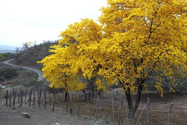 Flowering of Guayacans