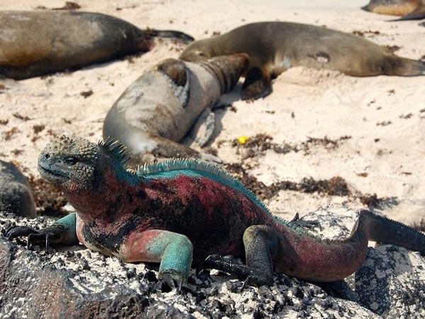 Types of Galapagos Land Iguanas